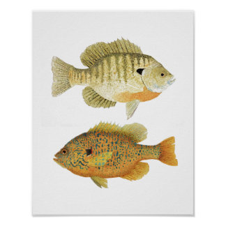 Sunnies- Bluegill & Pumpkinseed Poster