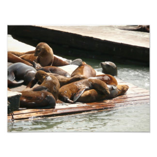 Sunning Sea Lions in San Francisco Photographic Print