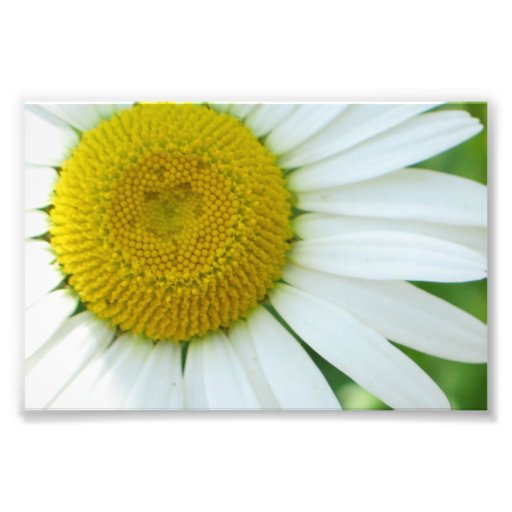 Sunny Center Yellow and White Daisy Photograph