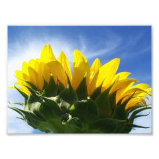 Sunny Day Sunflower Photo