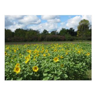 Sunny Sunflower Fields Postcard