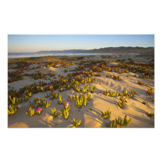 Sunrise lights the sand dunes and sea fig at photo print