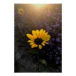 Sunrise, Sunflower, and Asters Poster