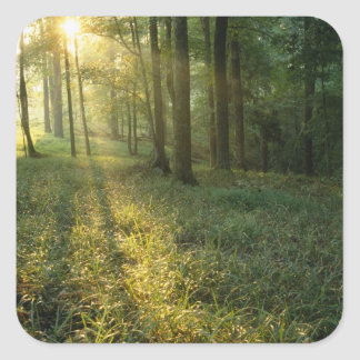 Sunrise through oak and hickory forest, Mammoth Square Sticker