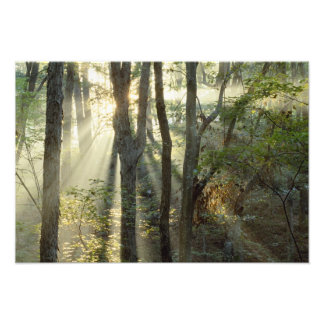 Sunrise through oak and hickory forest, photographic print