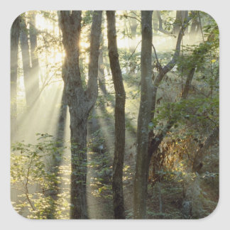 Sunrise through oak and hickory forest, square sticker
