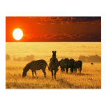 Sunrise Zebras Postcard