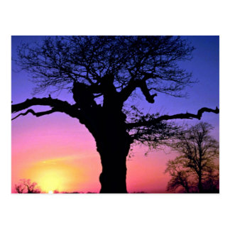 Sunset and tree, Richmond Park, London, England Postcard