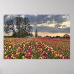 Sunset at Tulip Farm in Oregon Poster