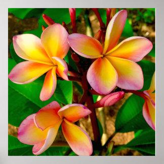 Sunset Hawaiian Frangipani Radiant Blooms Poster
