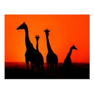 Sunset in Africa Postcard