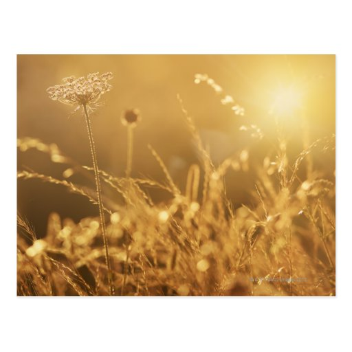 Sunset over summer meadow with lens flare post cards