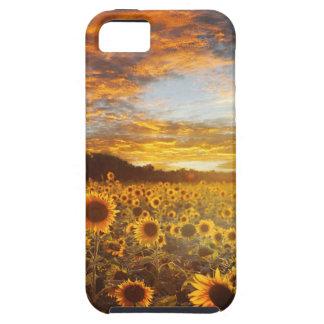 Sunset SunflowersField iPhone 5 Case