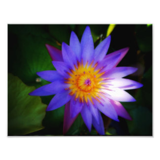 Sunshine on a waterlily photographic print