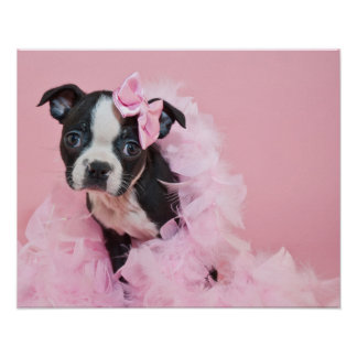 Super Cute Boston Terrier Puppy Wearing A Boa Poster