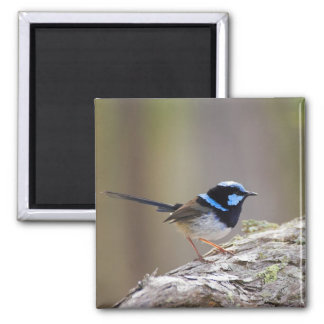 Superb Fairy-wren Magnet