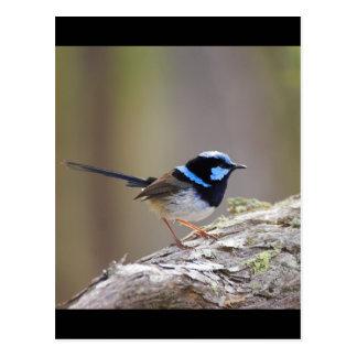 Superb Fairy-wren Postcard