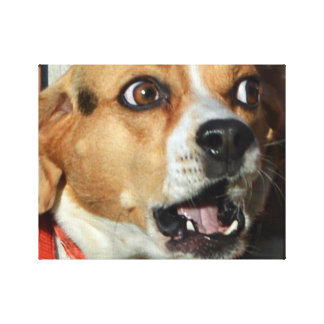 Surprised Beagle Canvas Print