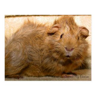 Surprised Guinea Pig Postcard