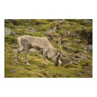 Svalbard reindeer  2 wood print