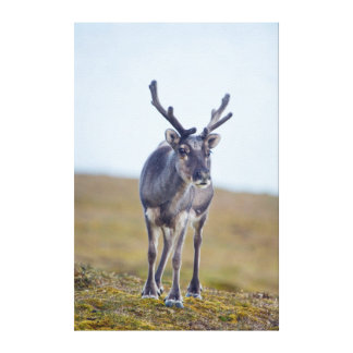 Svalbard reindeer gallery wrapped canvas