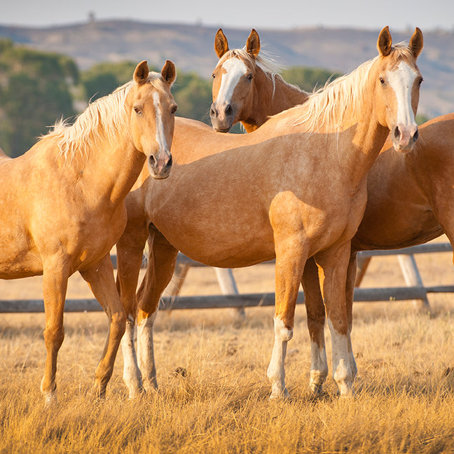 Three Palomino Ponies