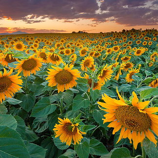 Sunflower Field in Longmont, Colorado