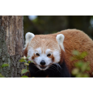 Red Panda Collection