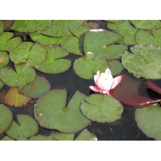 Floating Flowers Pink Water Lily & Pad