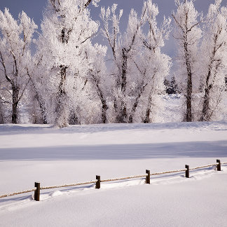 Frost Covered Trees and Fence, Colorado