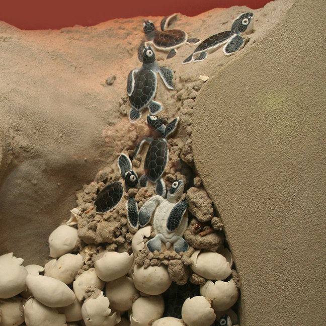 Baby Turtle Eggs Hatching