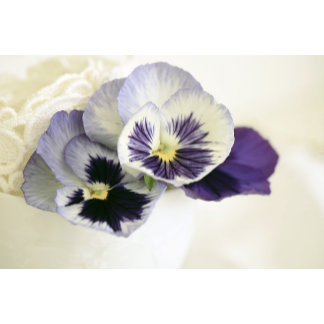 Purple Mauve Pansies
