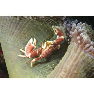 Anemone Crab Neopetrolisthes ohshimai),
