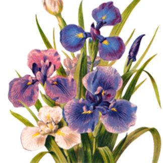 Vintage Irises
