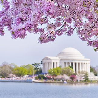 USA, Washington DC, Cherry tree in bloom