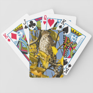Swainson's hawk at Lan Su Chinese Garden 2 Bicycle Playing Cards