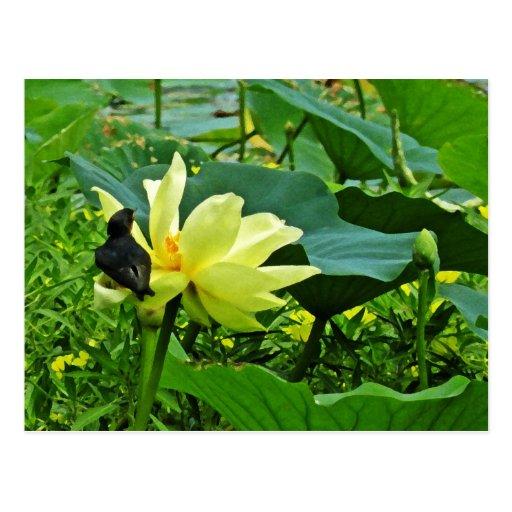 Swallow on Yellow Lotus Postcard