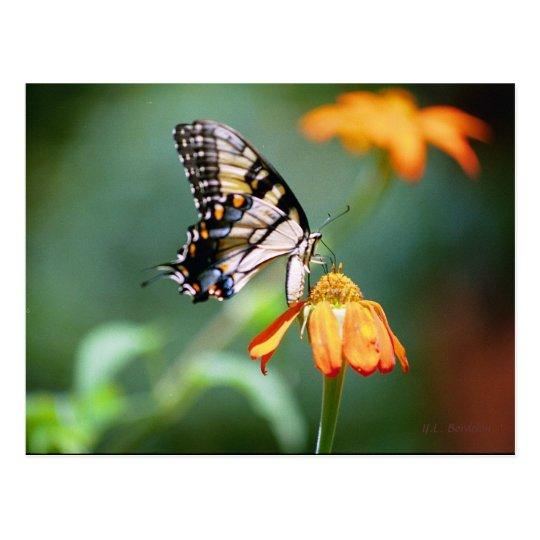 Swallowtail and Tithonia Postcard