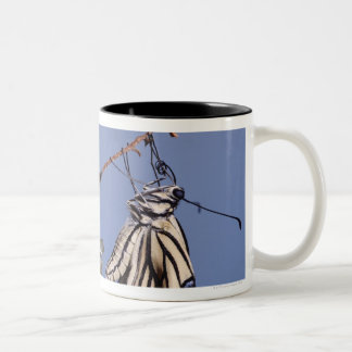 Swallowtail butterfly after metamorphosis Two-Tone coffee mug