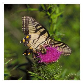 Swallowtail Butterfly and Bee on a Flower. Print