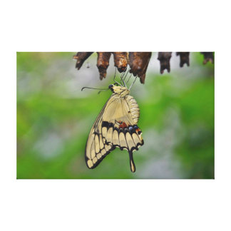 Swallowtail Butterfly and cocoons Gallery Wrap Canvas