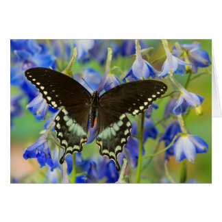Swallowtail Butterfly on blue Card