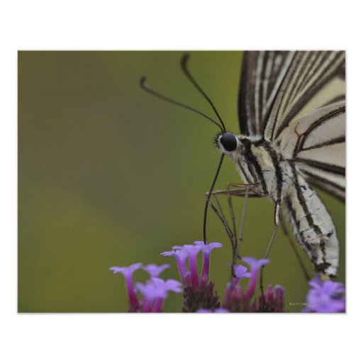 Swallowtail Butterfly on flower, Chiba Poster