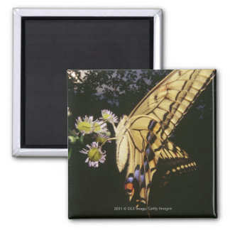 Swallowtail Butterfly on flower, close up Magnet