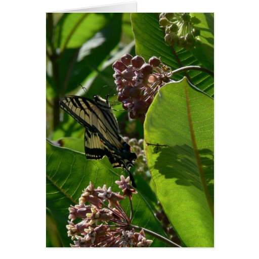 Swallowtail Butterfly on Milkweed Blossoms Greeting Card