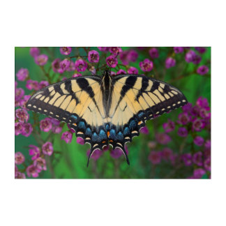 Swallowtail Butterfly on purple Acrylic Print