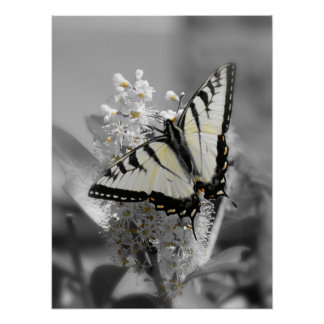Swallowtail Butterfly Poster