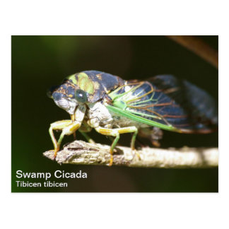 Swamp Cicada Postcard