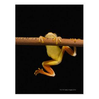 Swamp frog (Limnonectes Leytensis) Postcard