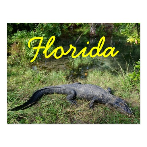 Swamp Gator Postcards